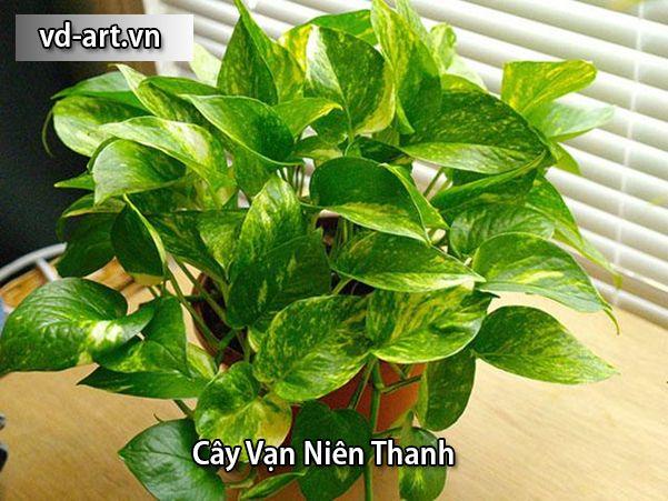 Cây Vạn Niên Thanh - cây Trầu Bà Vàng