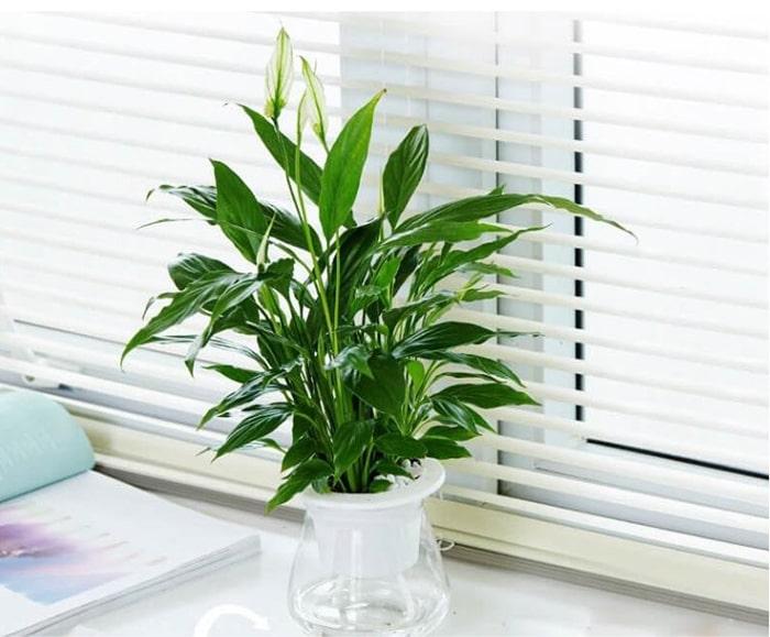 Có thể đặt cây lan ý trên bệ cửa sổ trong phòng khách