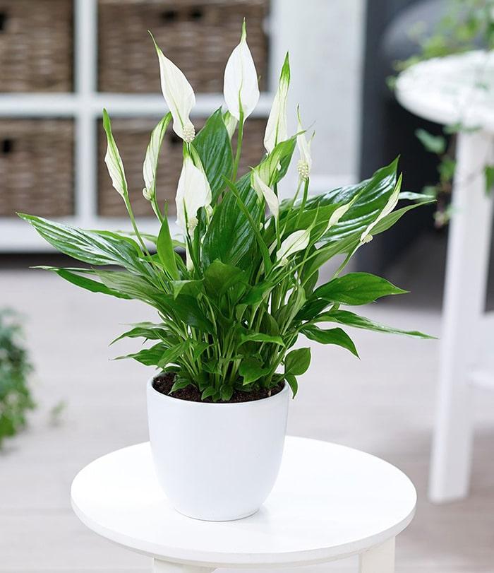 Cây Ý Lan có cuống lá mọc nhọn từ gốc, lá hình bầu dục, hoa màu trắng