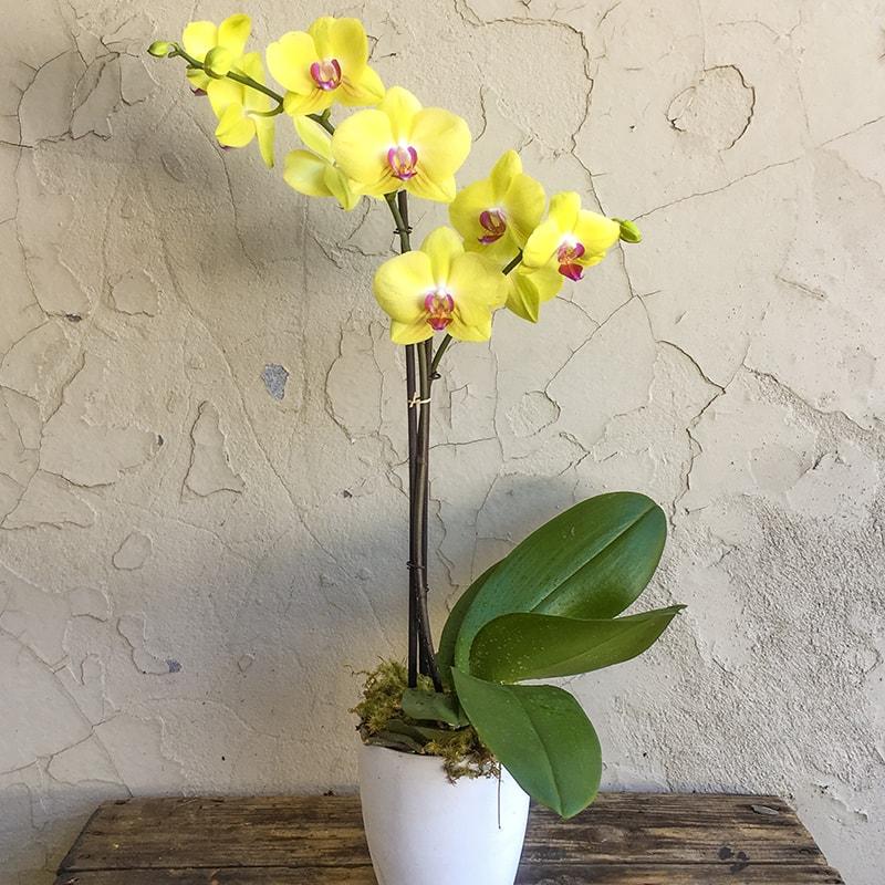 Nguồn gốc của hoa lan hồ điệp vàng